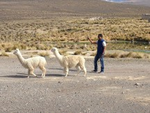 Prakash follows the Alpaca (one turned and spit at him)